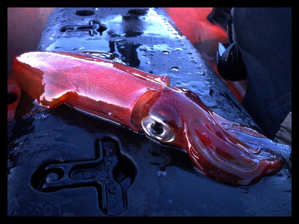 Calmar commun (Loligo Vulgaris) pris sur un jig en kayak sous un banc de sardines