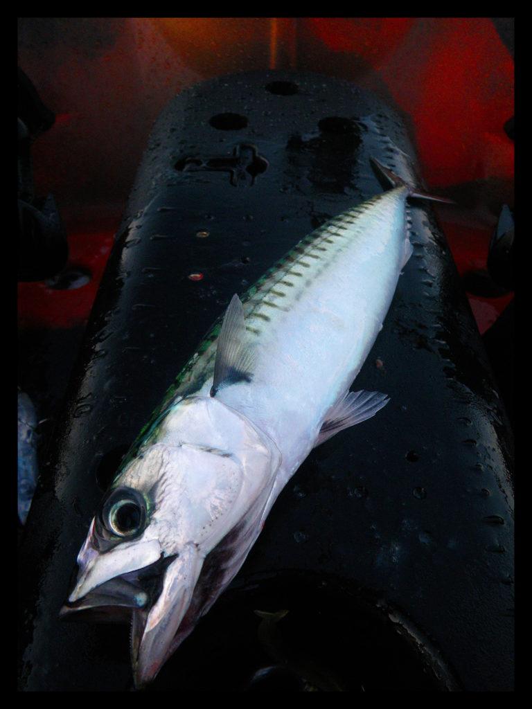 Maquereau commun (Scomber scombrus) pris sur un jig en kayak sur une chasse de sardines