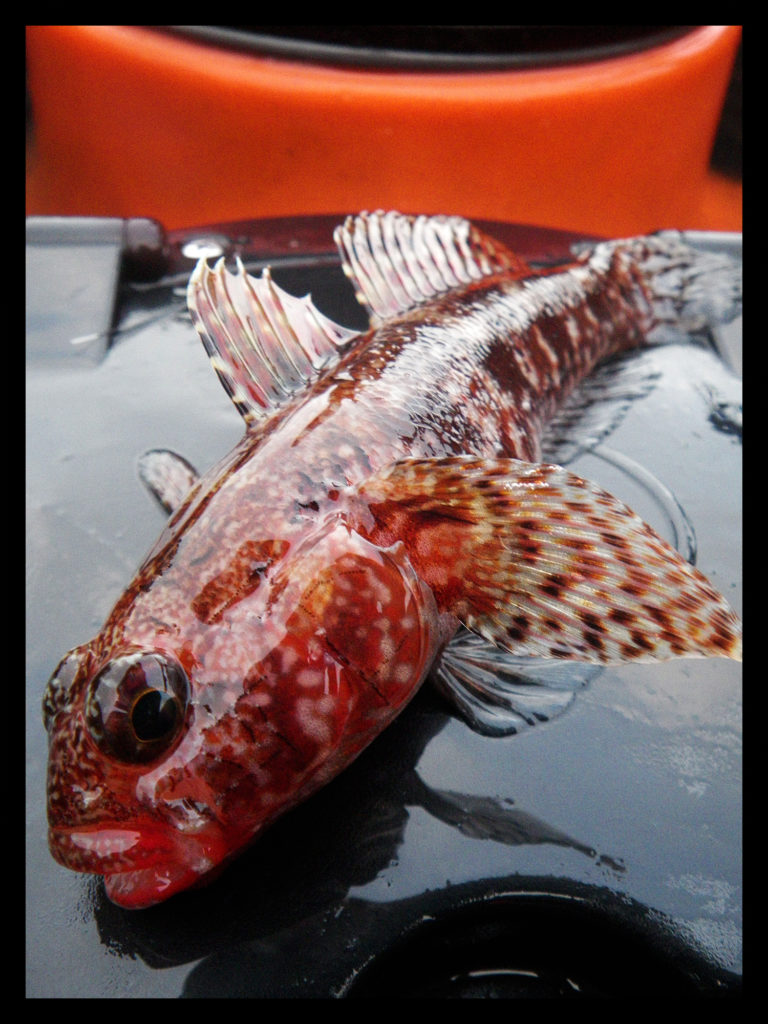 Gobie à bouche rouge (Gobius cruentatus) pris au tentacule de calmar sur une cassure d'algues et de roches