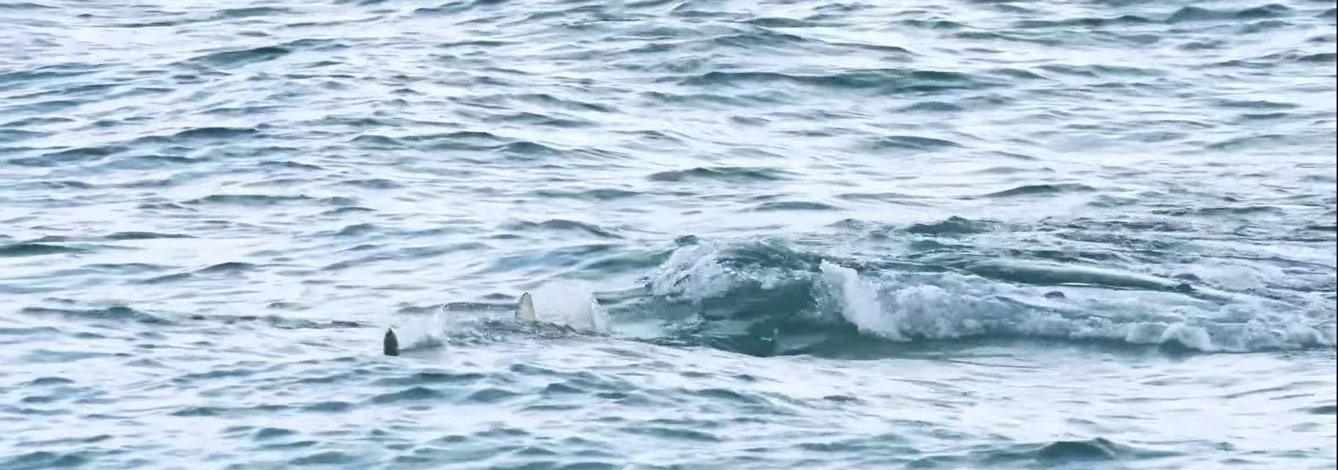 Requin au leurre de surface