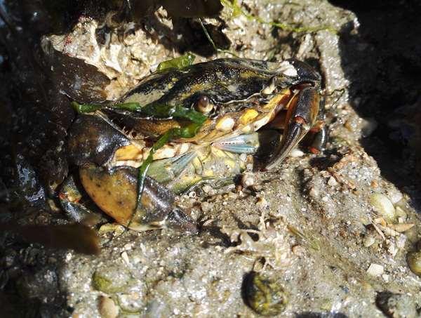 Crabe mâle à moitié enfoui protégeant un crabe mou femelle