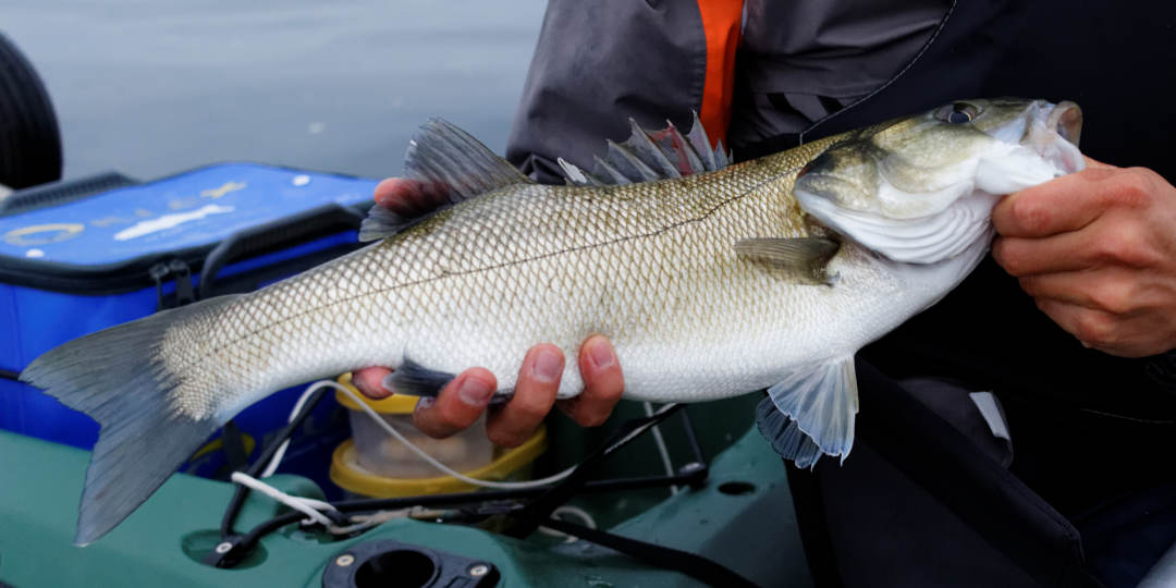 Réglementation : pêche au bar en 2021